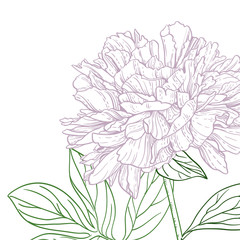 Peonies pink and green line art