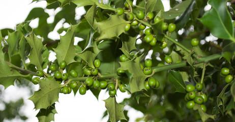 Stechpalme, Ilex Zweige mit grünen Beeren, Weihnachten
