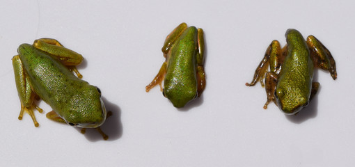 Three species of Hyla tree frog metamorphs in Mississippi