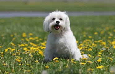 A white long hair dog is in the green grass at the park sitting in a field of yellow dandelions.