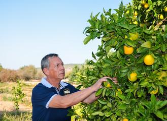 Senior man with graying hair who harvest oranges