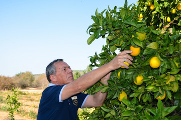 Senior man with graying hair who harvest oranges