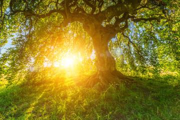 Sonne strahlt durch die alte Süntelbuche
