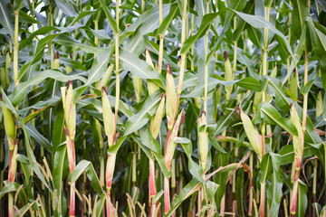 Green Maize Ears on the Stalks in Field