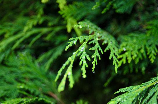 Rain drops on Cupressus sempervirens