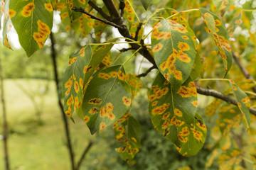 Disease gymnosporangium sabinae