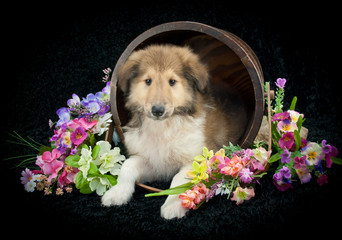 Wall Mural - Spring Collie Puppy