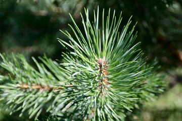 The needles on the branch of the coniferous tree