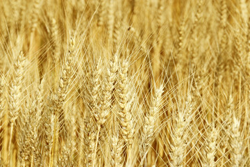 Ears of the wheat in golden-yellow tones