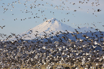 Fly up of geese in Klamath Basin National Wildlife Refuge