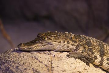 small alligator crocodile reptile resting in nature