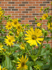 Cup Plant , Silphium perfoliatum flowers in prairie garden with brick background