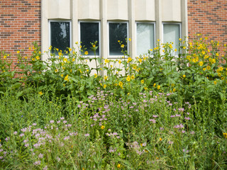 urban prairie garden with a backdrop of a red brick building.  The yellow flowers are those of Cup Plant,  Silphium perfoliatum. Lavender colored flowers are Wild Bergamot, Monarda fistulosa