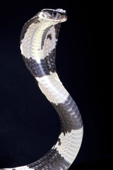 Black and white spitting cobra (Naja siamensis)