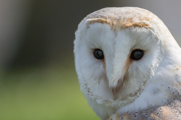 Wall Mural - Barn owl head shot, close up with green background.