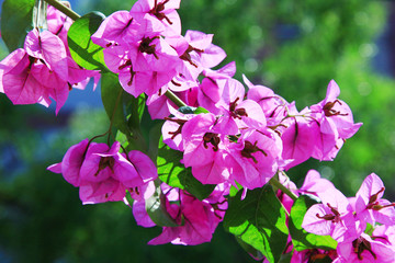 Purple blooming bougainvillea in the garden on a blue sky