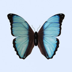 Blue Morpho Butterfly - Morpho Deidamia. A Butterfly has Bright Blue Wings with Black Edges. Isolated on Background