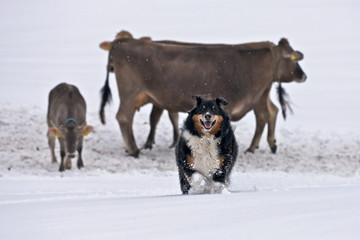 Shepherd dog with cows