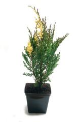 Juniperus chinensis Variegata in a pot