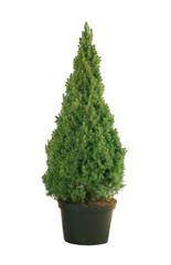 Picea glauca Conica in a pot