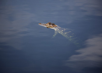 young aligator  resting on the lake. On a nature background .