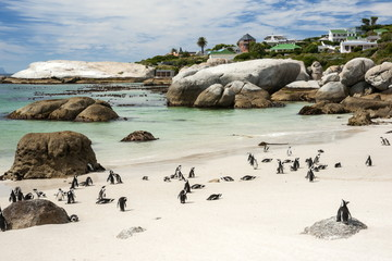 African penguins on sand at Foxy Beach with residential homes in background, Boulders Beach National Park, Simonstown, South Africa, Africa
