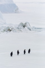 Emperor Penguins (Aptenodytes forsteri) marching across sea ice on Snow Hill Island, Weddell Sea, Antarctica, Polar Regions