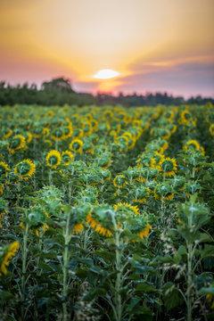 Sommermrogen im Sonnenblumenfeld bei Mainz
