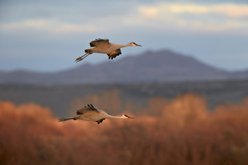 Two sandhill crane (Grus canadensis) in flight, Bosque del Apache National Wildlife Refuge, New Mexico, United States of America, North America