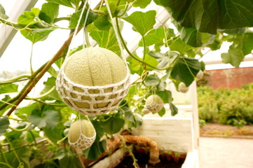 Melon hanging in string cradle.