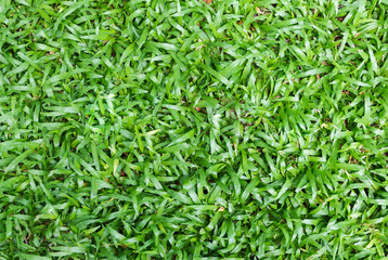 Tropical carpet green grass background