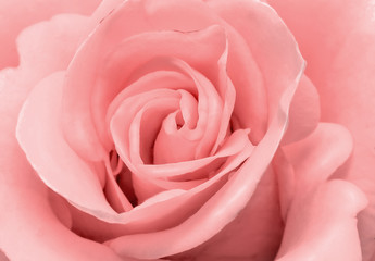 The beautiful rose flower delicate light pink color closeup..