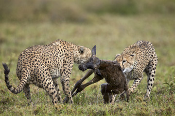 Two male cheetah (Acinonyx jubatus) killing a new born blue wildebeest (brindled gnu) (Connochaetes taurinus) calf, Ngorongoro Conservation Area, Serengeti, Tanzania, East Africa, Africa