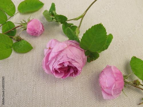 damaszener rosen stock photo and royalty free images on pic 88313965. Black Bedroom Furniture Sets. Home Design Ideas