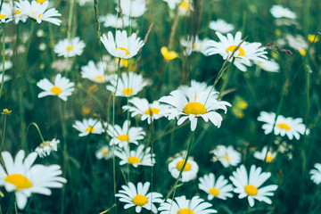 Daisies - background