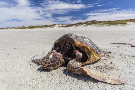A dead loggerhead sea turtle (Caretta caretta) on the beach on Magdalena Island, Baja California Sur, Mexico