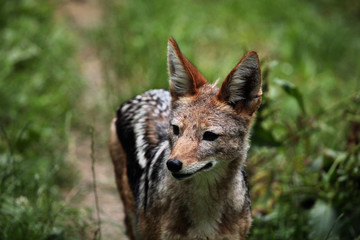 Black-backed jackal (Canis mesomelas).