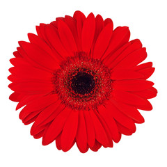 Fotobehang Gerbera Red Gerbera