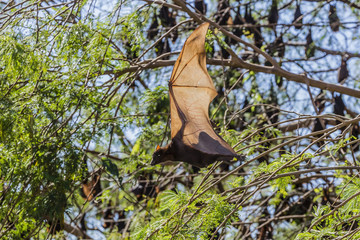 A camp of little red flying foxes (Pteropus scapulatus) in the Ord River, Kimberley, Western Australia, Australia, Pacific