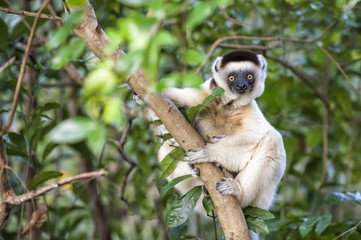 Verreaux's Sifaka (Propithecus verreauxi), Nahampoana Reserve, Fort Dauphin, Toliara Province, Madagascar, Africa