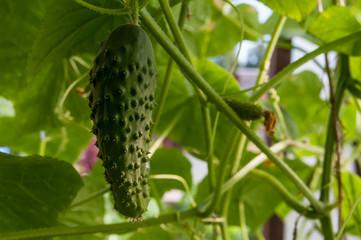 cucumber growing in the garden