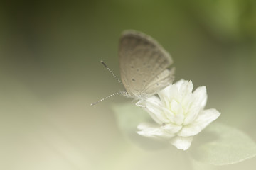 Pale grass blue butterfly with soft filter background