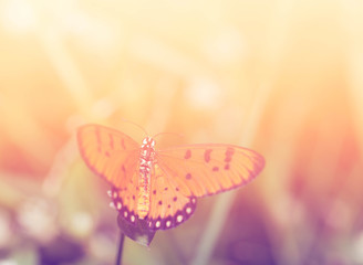 Tawny coster butterfly with soft filter background