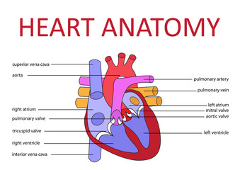human heart anatomy schematic diagram. vector illustration