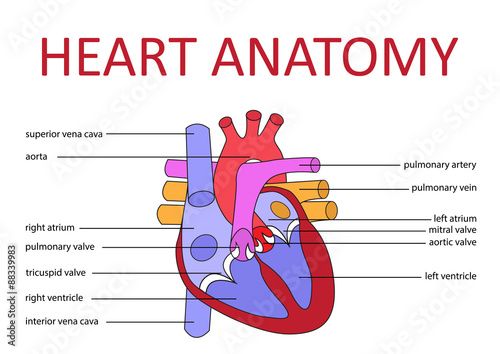 human heart diagrams – citybeauty, Muscles