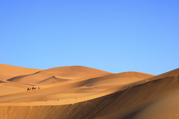 Camels in desert landscape, Merzouga, Morocco, North Africa, Africa