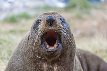 New Zealand fur seal (Arctocephalus forsteri) hauled out near Dunedin, South Island, New Zealand, Pacific