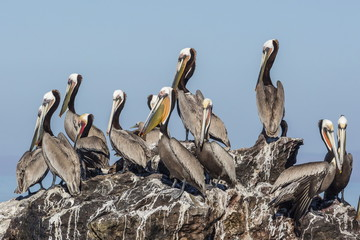 Brown pelicans (Pelecanus occidentalis) in breeding plumage at Isla Rasita, Baja California, Mexico, North America