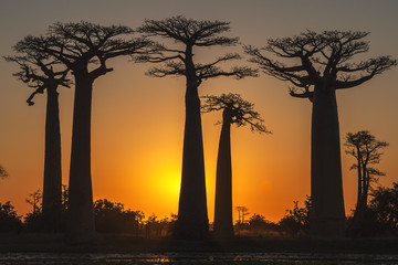 Baobab trees at sunset, Morondava, Toliara province, Madagascar