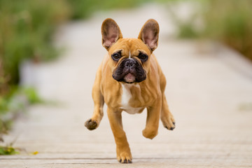 Deurstickers Franse bulldog Running French Bulldog Puppy